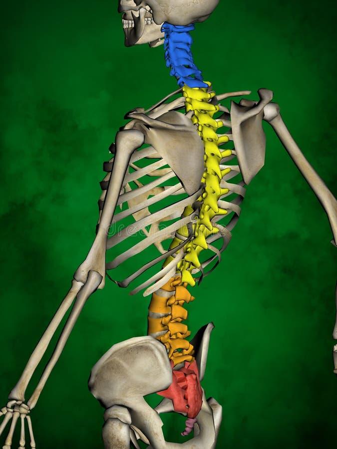 Human skeleton M-SK-POSE Bb-56-13, Vertebral column, 3D Model. Human Poses, Human Skeleton, Vertebral column, 3D Model, Grren Background stock illustration