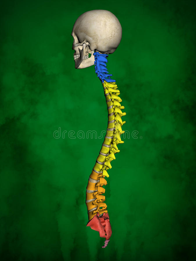 Human skeleton M-SK-POSE Bb-56-20, Vertebral column, 3D Model. Human Poses, Human Skeleton, Vertebral column, 3D Model, Grren Background stock illustration