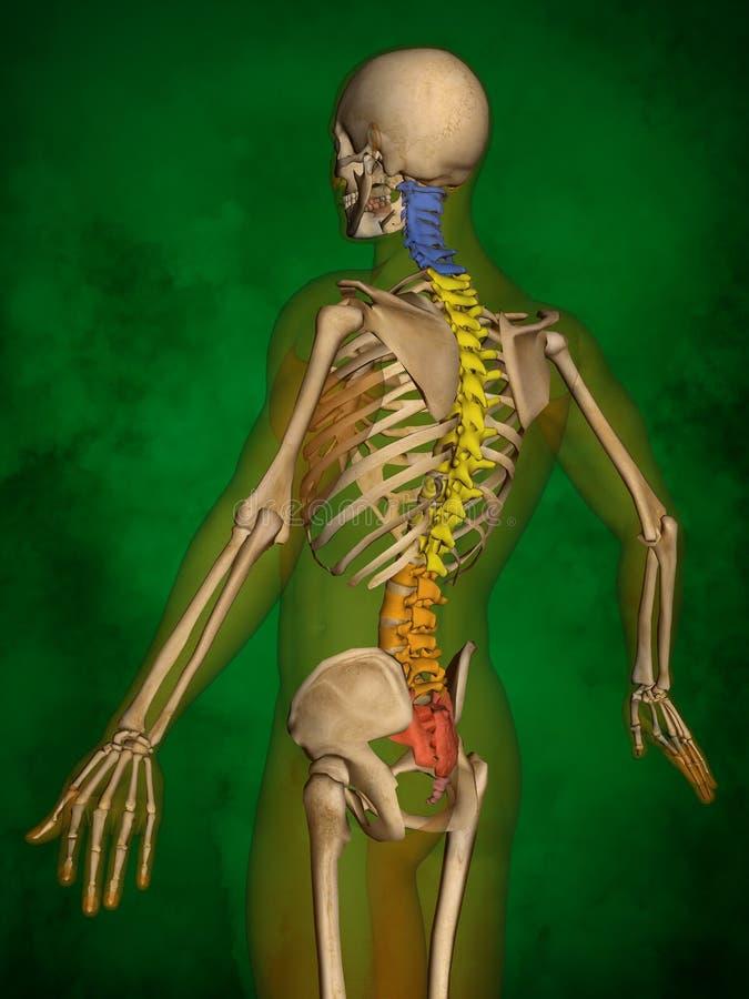 Human skeleton M-SK-POSE Bb-56-7, Vertebral column, 3D Model. Human Poses, Human Skeleton, Vertebral column, 3D Model, Grren Background vector illustration