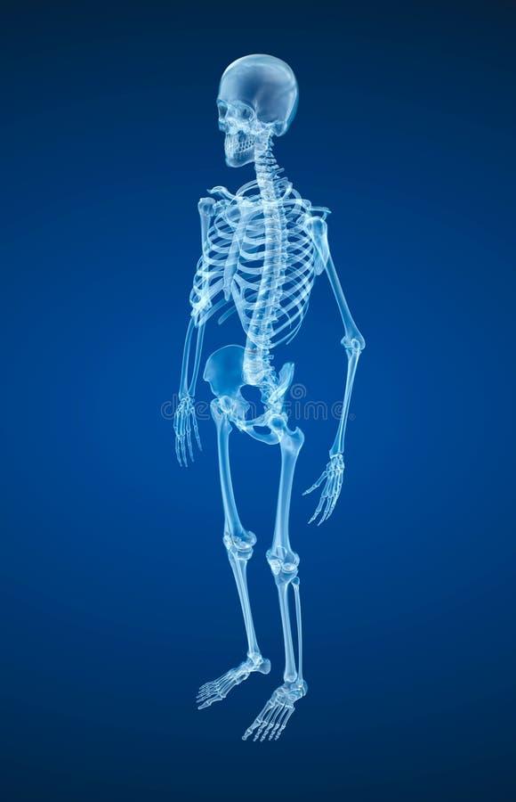 Human skeleton, Medically accurate illustration . Human skeleton, Medically accurate 3d illustration royalty free illustration