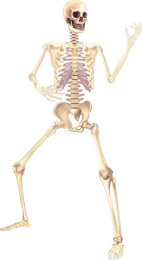 Human Skeleton Medically accurate illustration vector illustration