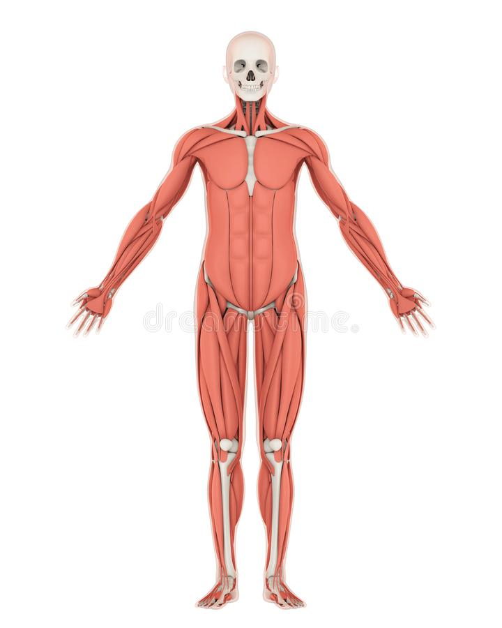 Human Skeleton and Muscle Anatomy Isolated royalty free illustration