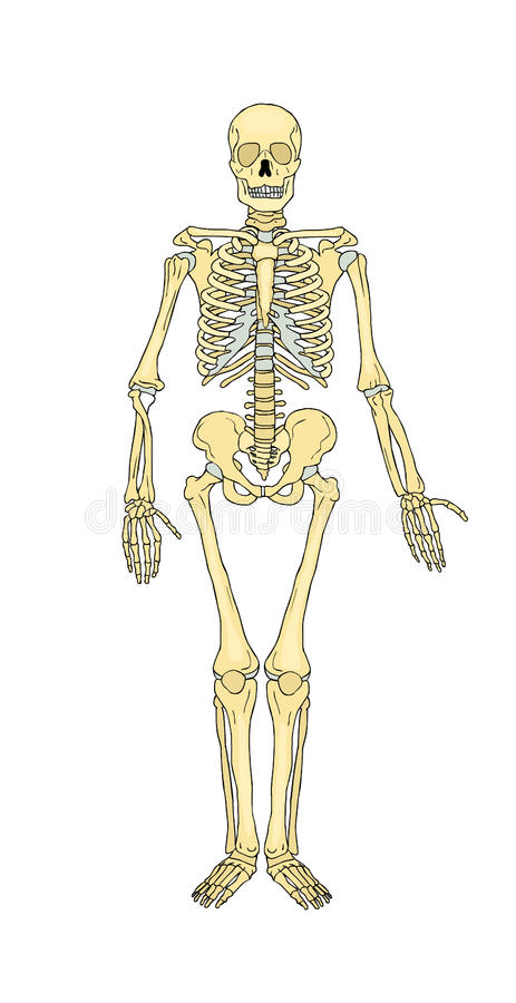musculoskeletal system bones vector stock vector illustration of