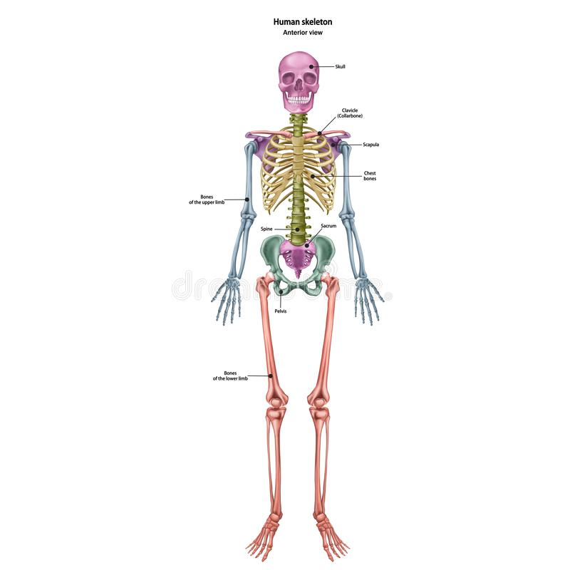 The human skeleton with the name and description of all sites. Human anatomy royalty free illustration