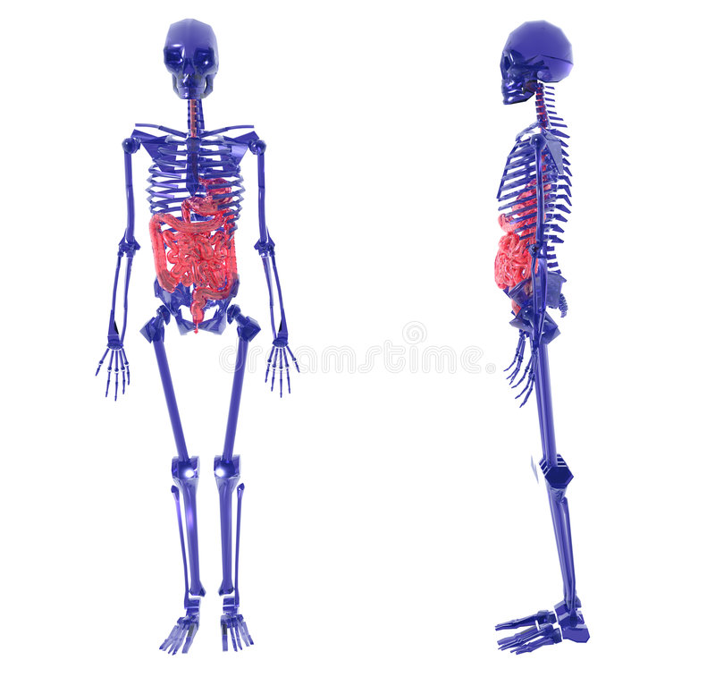 Human Skeleton over White Bad Stomach. Blue glass Human Skeleton over White Bad Stomach vector illustration