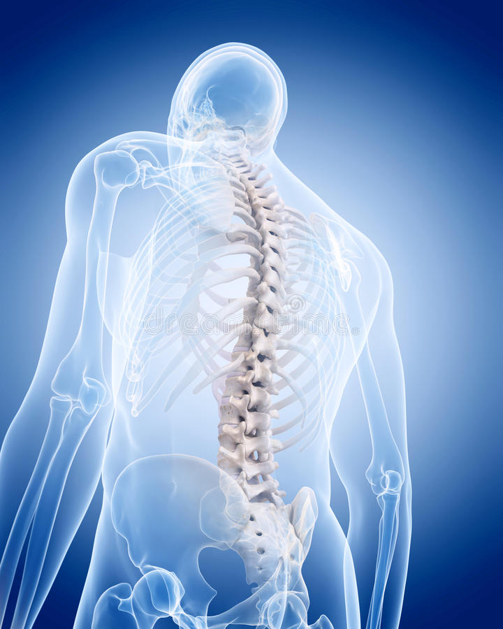 The human skeleton - the spine. Medically accurate illustration of the human skeleton - the spine stock illustration
