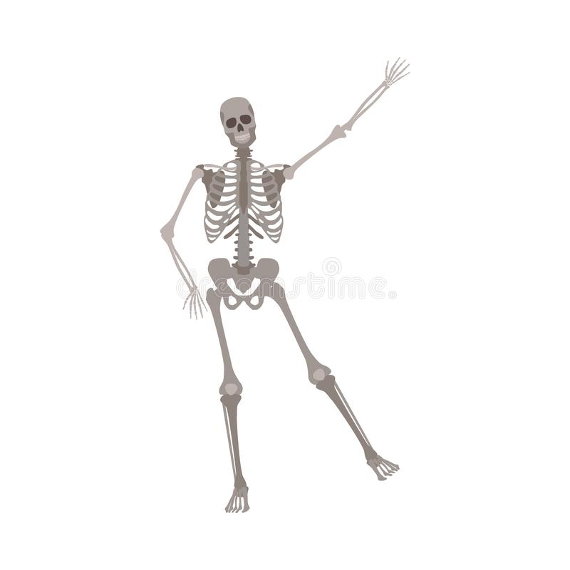Human skeleton standing on one leg with arm raised up cartoon flat style. Vector illustration isolated on white background. Funny skeleton in dancing pose vector illustration