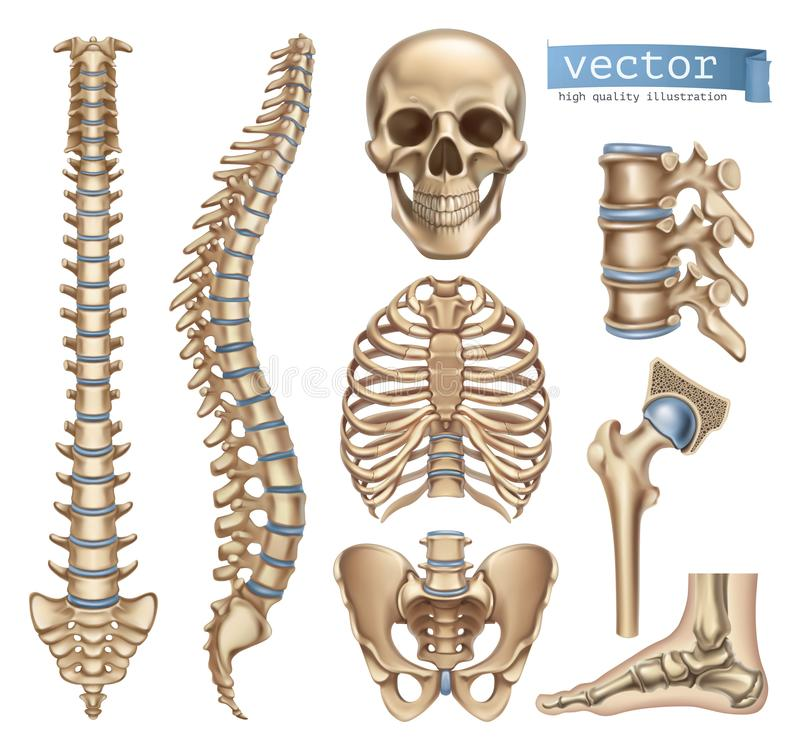 Human skeleton structure. Skull, spine, rib cage, pelvis, joints. 3d vector icon set. Human skeleton structure. Skull, spine, rib cage, pelvis, joints. Anatomy stock illustration