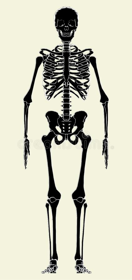 human skeleton vector 01 royalty free stock images - image: 13235469, Skeleton
