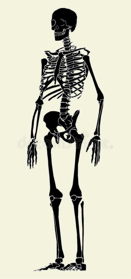human skeleton vector 03 royalty free stock image - image: 13235476, Skeleton