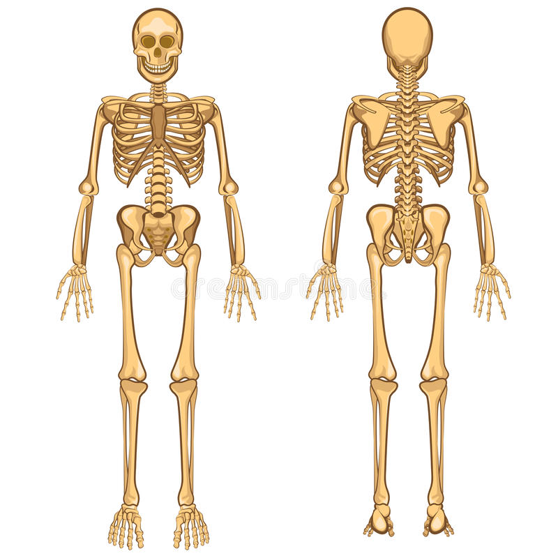 Human Skeleton Vector Illustration Stock Vector Illustration Of