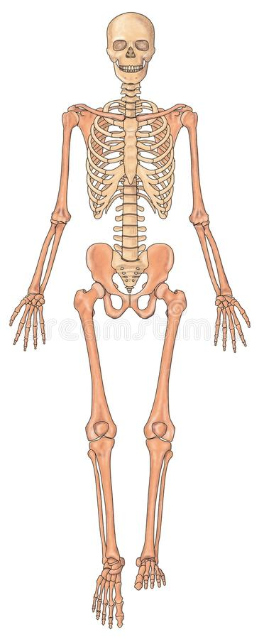 human skeleton ventral view stock photos - image: 9845523, Skeleton