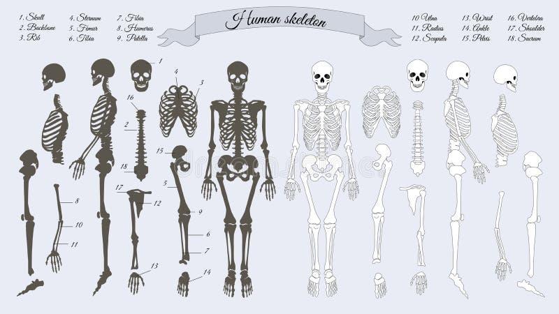 Human Skeleton. White and Black. Names of Bones. Human skeleton. White and black. Names of peple`s bones. Skull, backbone, rib, stornum, femur, tibia, fibia stock illustration
