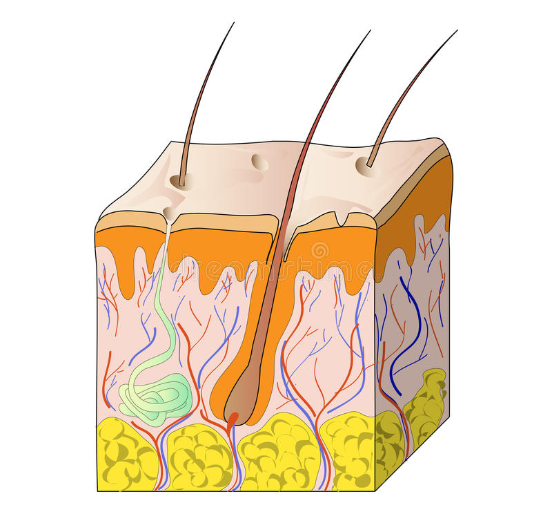 Download Human skin stock vector. Illustration of fiber, blood - 15197196