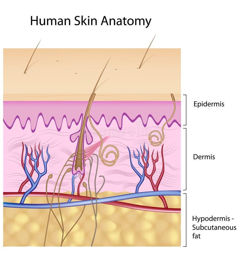 Human skin anatomy, non-labeled version royalty free illustration