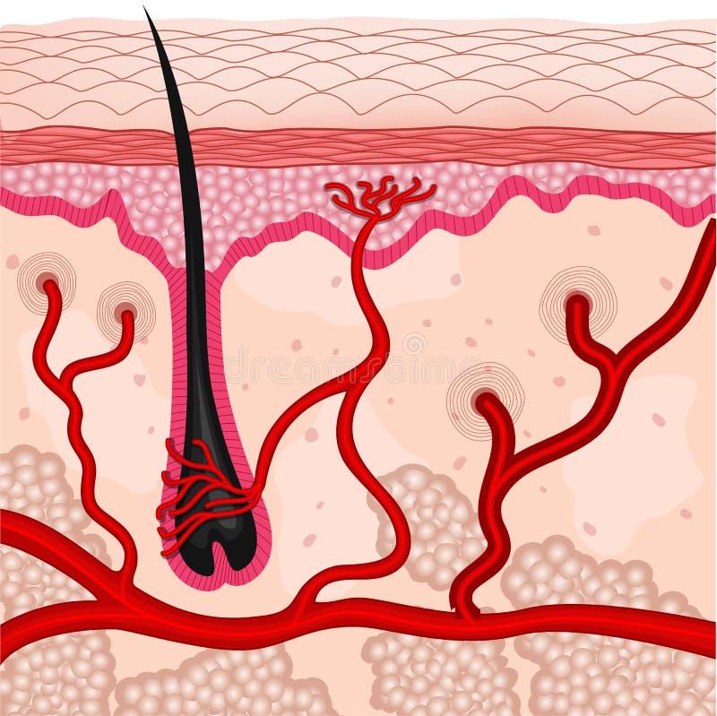 Human skin cells stock illustration