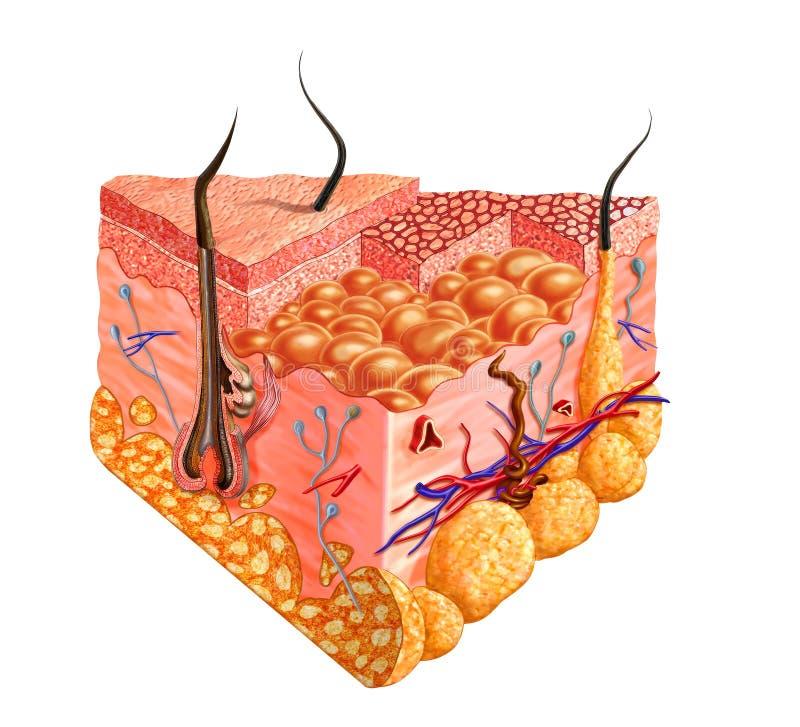 Download Human Skin Cutaway Diagram, With Several Details. Stock Illustration - Image: 22517002