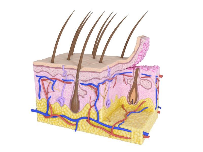 The human skin vector illustration