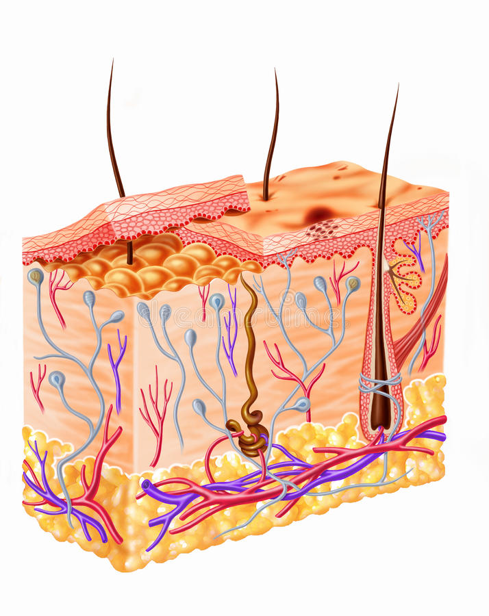Human Skin Full Section Diagram. stock illustration