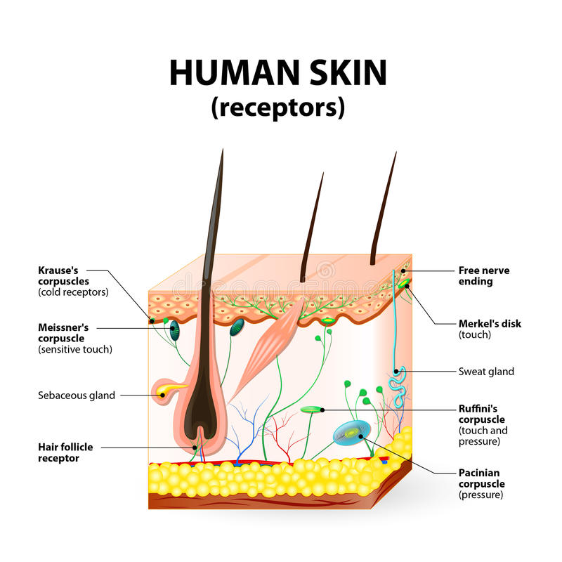 Human skin layer vector cross section royalty free illustration