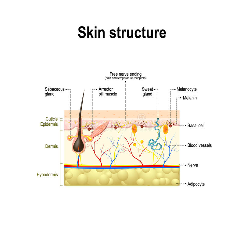 Human Skin Structure Stock Vector  Illustration Of Basal