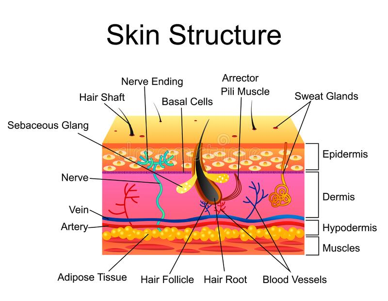 Human Skin structure, vector illustration isolated background vector illustration