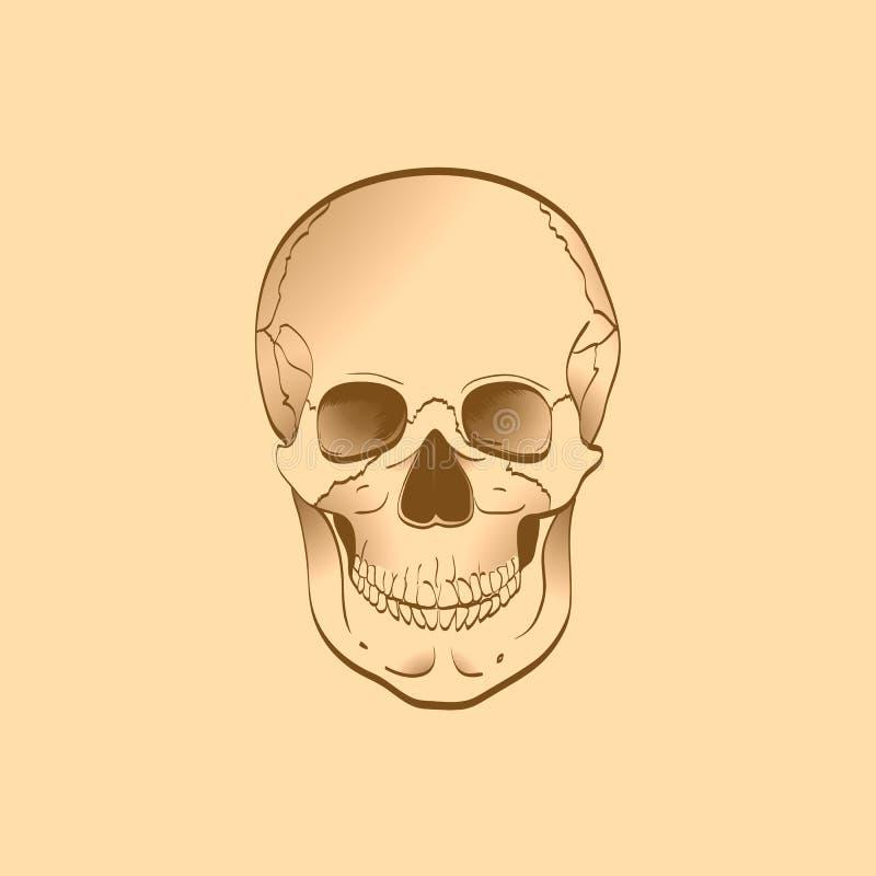 Download Human skull stock illustration. Image of human, brain - 25359751
