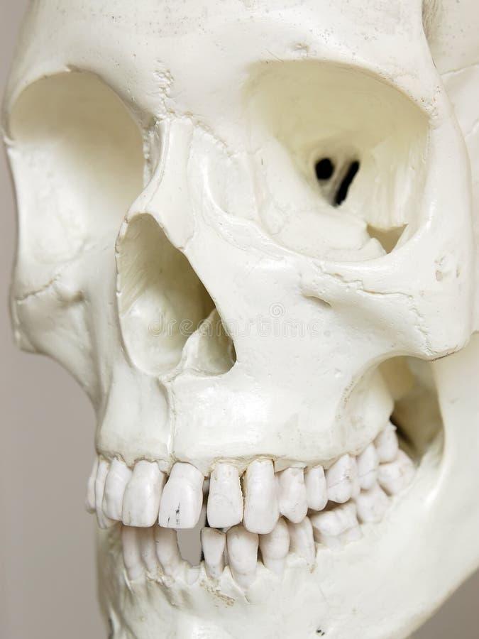 Human skull. Closeup stock photos