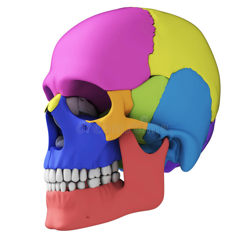 Human skull anatomy stock illustration