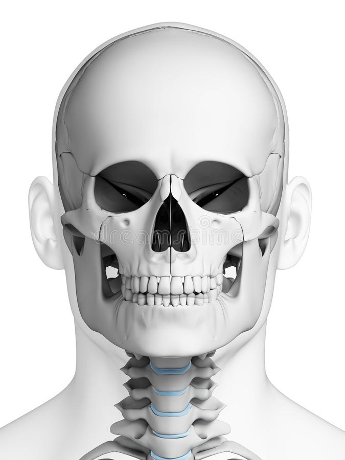 Human skull anatomy stock illustration. Illustration of head - 30721757