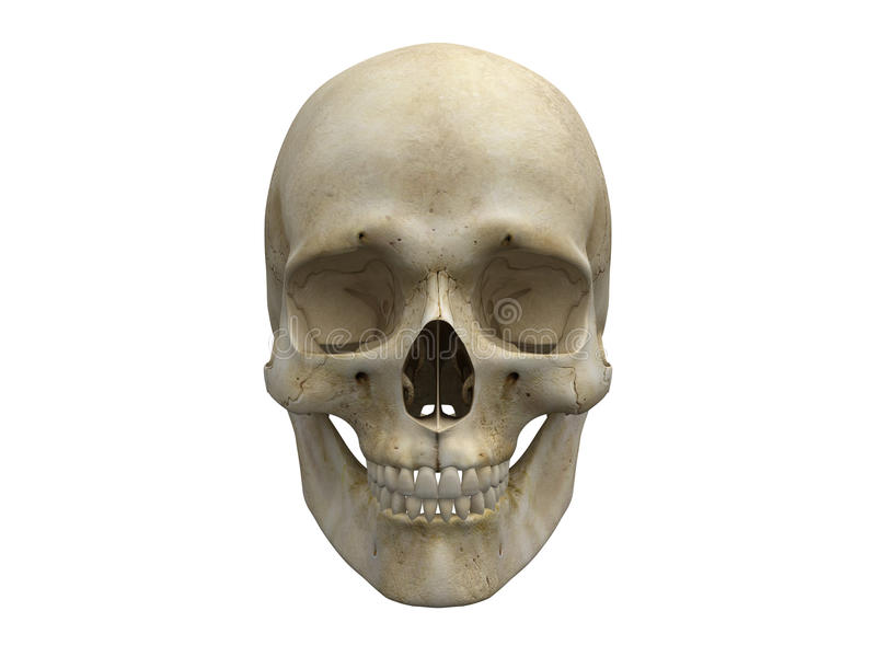 Human skull bones frontal view stock illustration