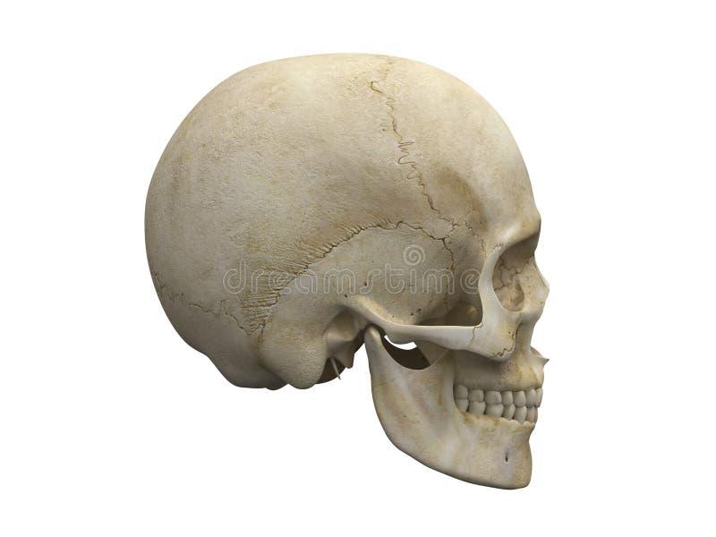 Human skull bones side view vector illustration