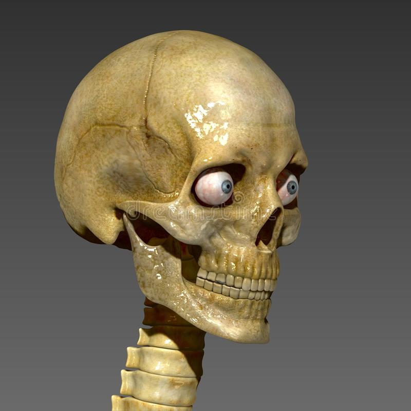 Human Skull. The human skull is a bony structure, the head in the skeleton, which supports the structures of the face and forms a cavity for the brain. The adult royalty free stock image
