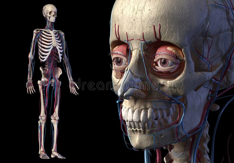 Human skull close up with full skeletal and cardiovascular systems. Human Anatomy skull close up with full skeletal and cardiovascular systems. On black royalty free illustration