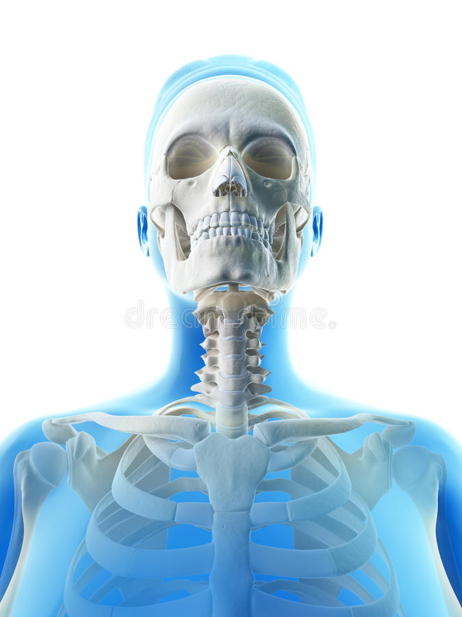 Download Human skull stock illustration. Image of body, clavicle - 34776943