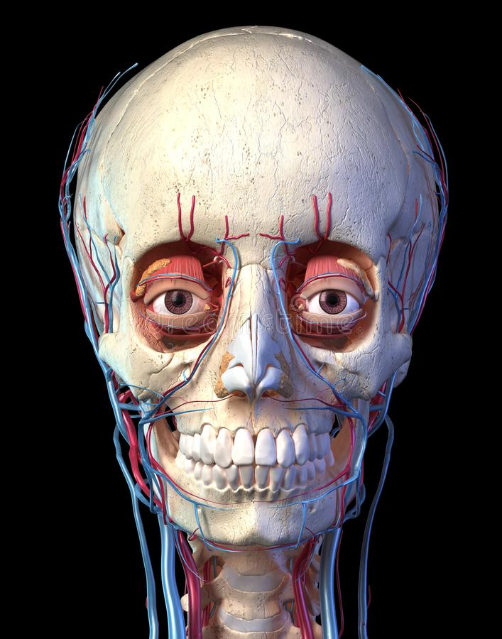 Human skull with eyes, veins and arteries. Front view royalty free illustration