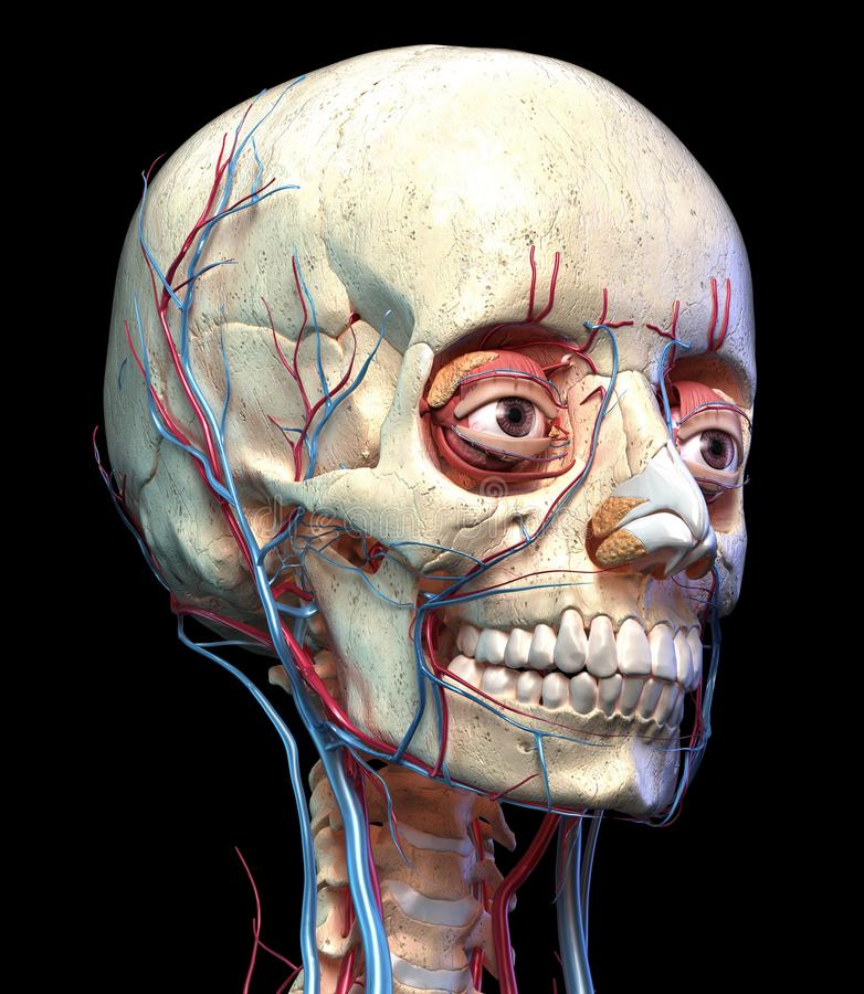 Human Skull With Eyes, Veins And Arteries. Front View