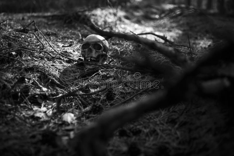 Human skull in the forest on the ground near the tree trunk, sprinkled with pine needles and illuminated by a beam of light. royalty free stock image