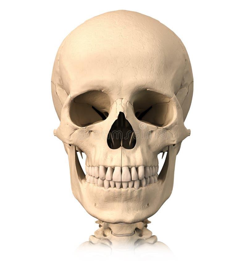 Human skull, front view. royalty free illustration