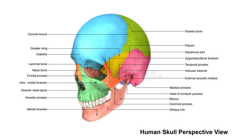 Human Skull stock illustration