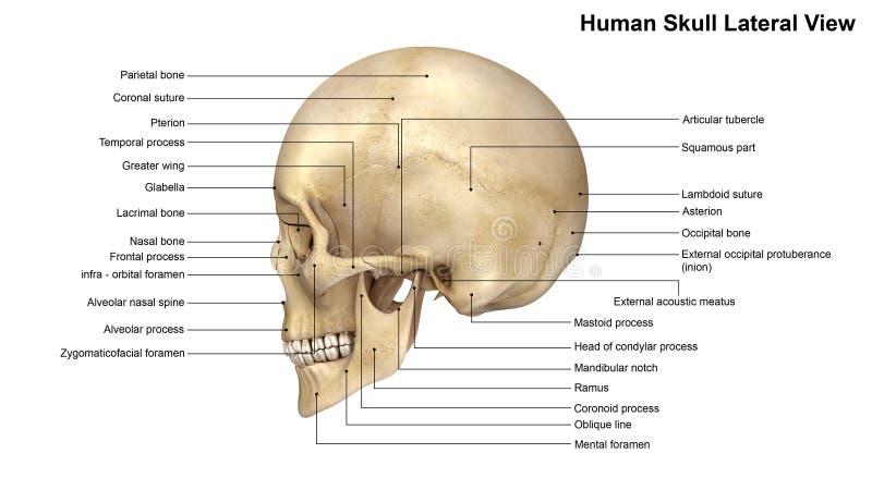 Human Skull Lateral view vector illustration