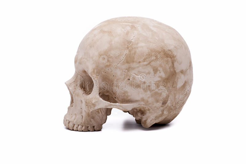 Download Human Skull Model Royalty Free Stock Photos - Image: 32205268