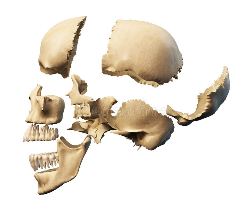 Human skull with parts exploded. stock illustration