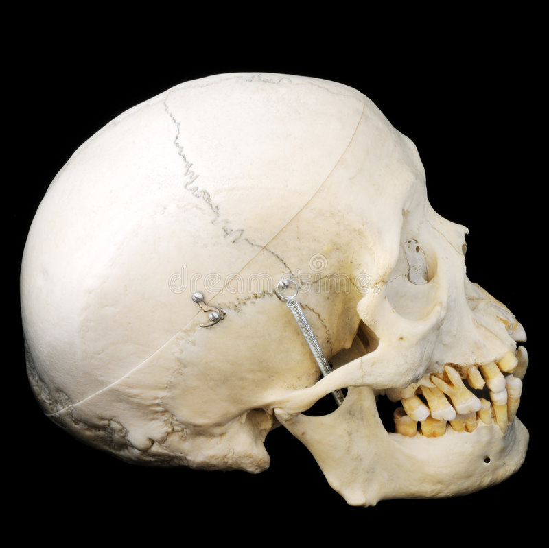 Free Human Skull, Side View Stock Photo - 5320760