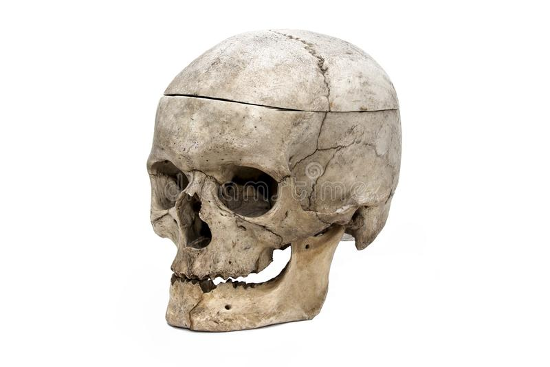 The human skull from the three quarter stock images