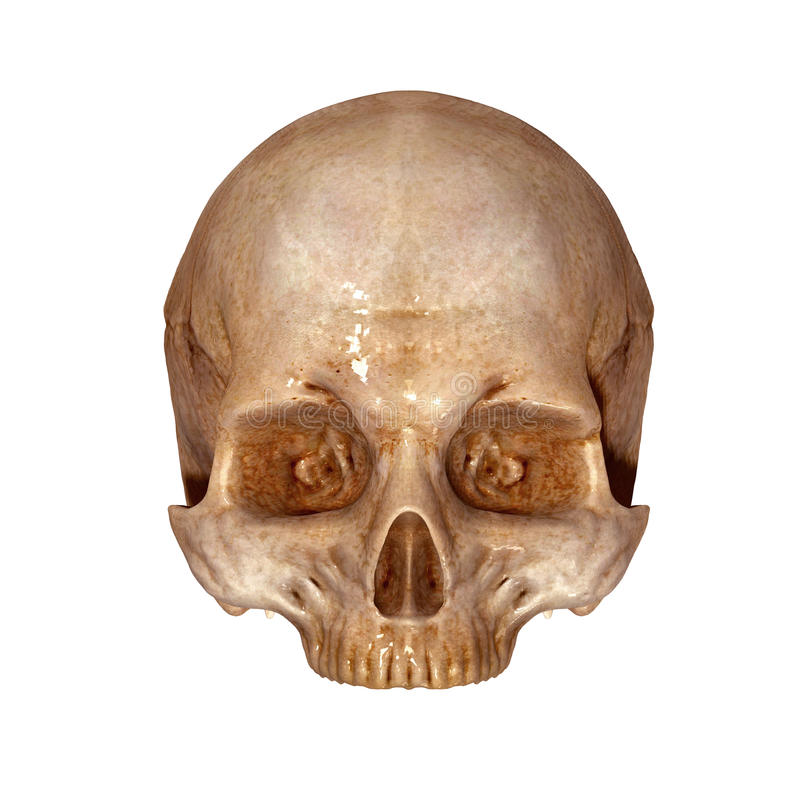 Human Skull upper part. The human skull is a bony structure, the head in the skeleton, which supports the structures of the face and forms a cavity for the brain stock images