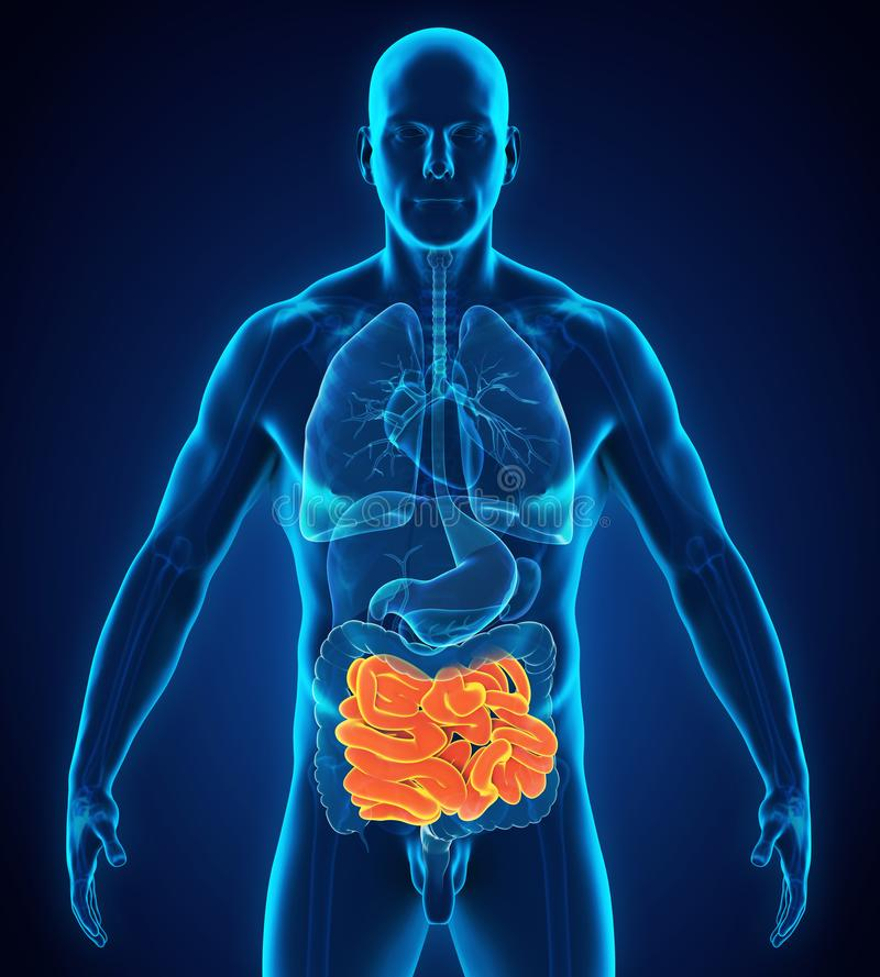 Human Small Intestine Anatomy Stock Illustration - Illustration of ...