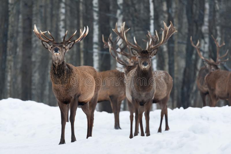 Human Smell: Red Deer Buck, Craning His Neck And Raised His Head Feels The Presence Of Man. Group Of Multiple Adult Deer Stag On S stock photography