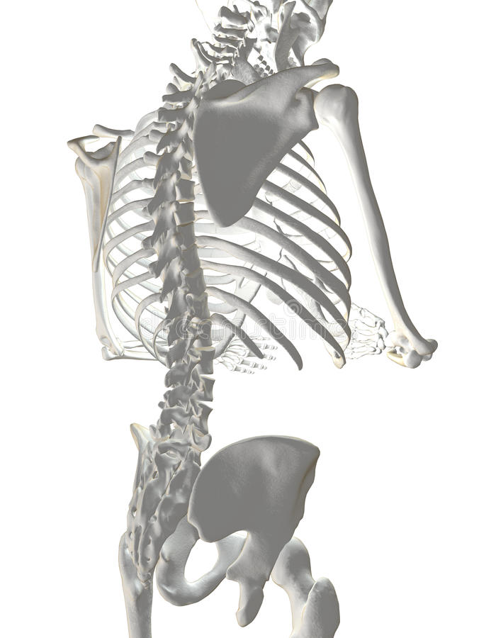 Download Human Spine stock illustration. Image of cage, joint - 14244436