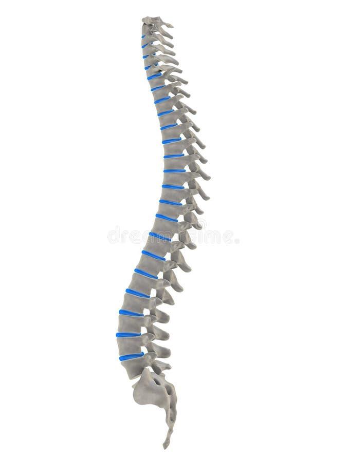 Human spine. 3d rendered anatomy illustration of a human spine stock illustration